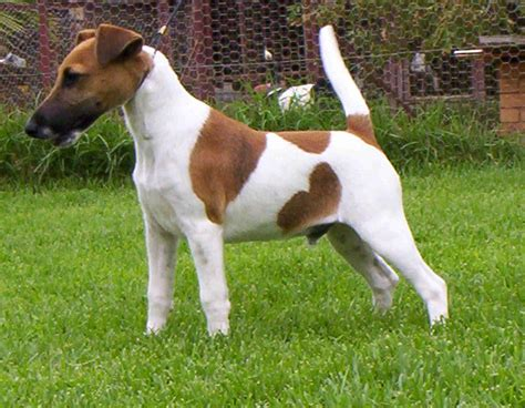 Smooth Fox Terrier   Puppies, Rescue, Pictures