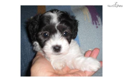 maltipoo puppies for sale in indiana maltipoo puppies for sale in kentucky car interior design