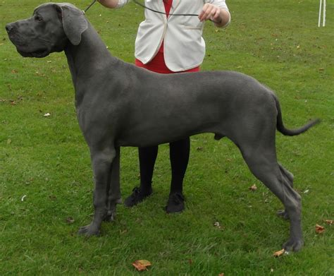 great dane puppies california blue great dane breeders in southern california breeds picture