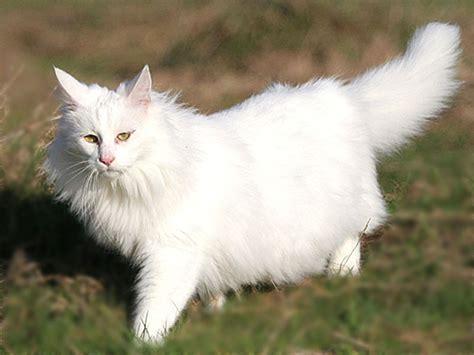 nomi persiani angora turco schede razze gatti