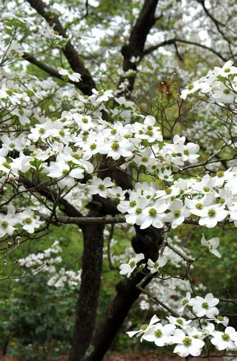 dogwood tree in bloom majestic trees pinterest