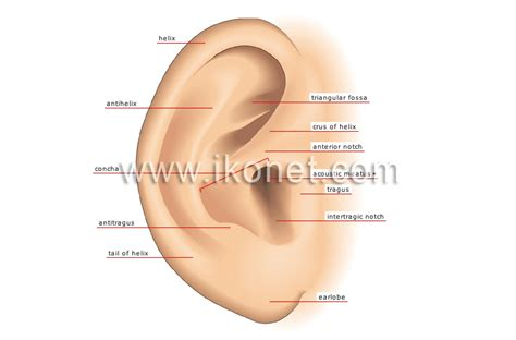 human being gt sense organs gt hearing gt auricle image