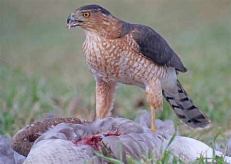 10 000 birds cooper s hawk eating a road killed canada goose