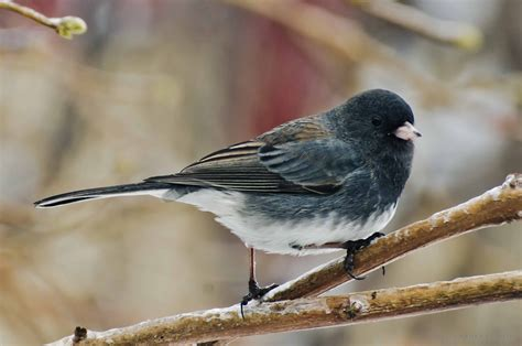 prairie nature dark eyed slate coloured juncos regina