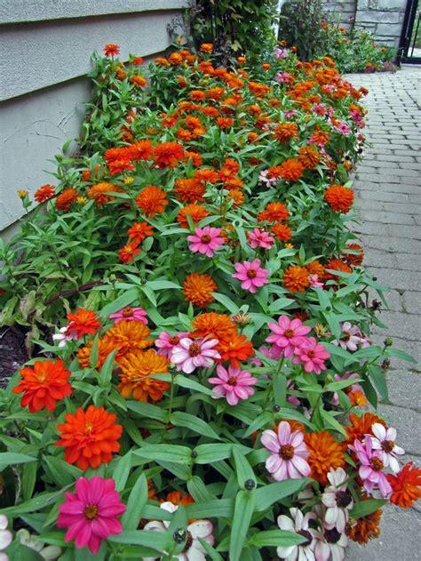 Zinnias Flower Garden Zahara Zinnias Garden 1