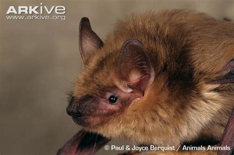 big brown bat videos photos and facts eptesicus fuscus
