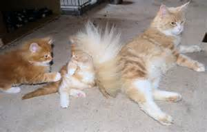 Maine coon kittens for sale 163 300 posted 1 year ago for sale cats
