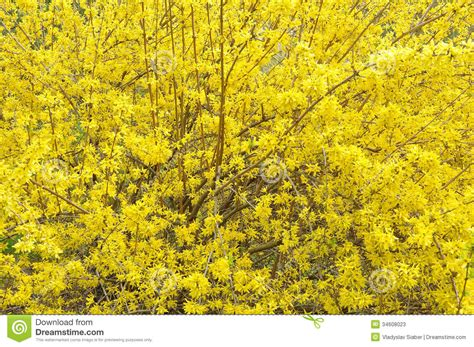 yellow blossom of forsythia stock image image 34608023