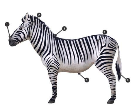 zebra pattern how to draw zebra pattern drawing