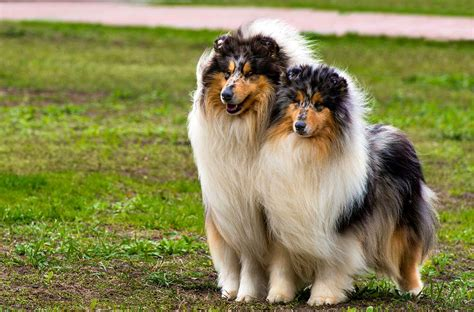 collie breed collie breed 187 everything about collies