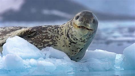 seals  antarctica  andy rouse natural world safaris