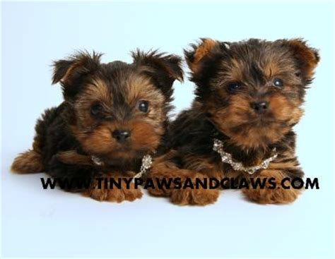 yorkie puppies for sale in houston akc yorkie puppies for sale for sale in houston pets of breeds picture