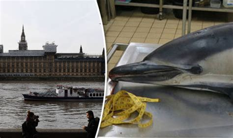 thames river dolphin thames dolphin that delighted animal lovers in london