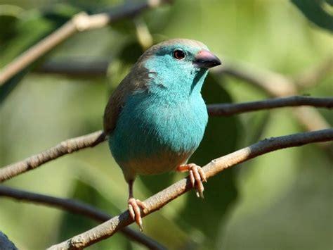 cordon blue breasted finch birds pinterest