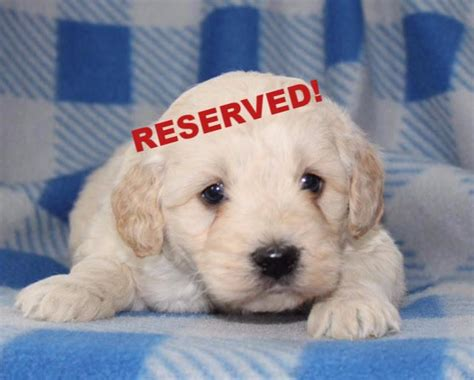 goldendoodle puppy for sale in nc miniature goldendoodle puppies for sale in carolina