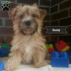 yorkie chon puppies for sale in pa yorkie chon puppies for sale in pa breeds picture