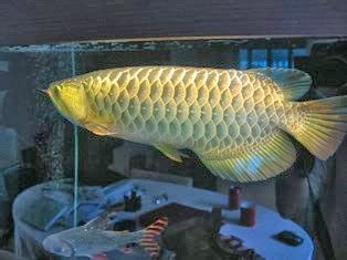 Arwana Golden 15cm harga ikan arwana golden dan silver