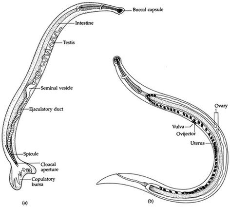 diagram of nematode nematoda nematodes digestive system in phylums