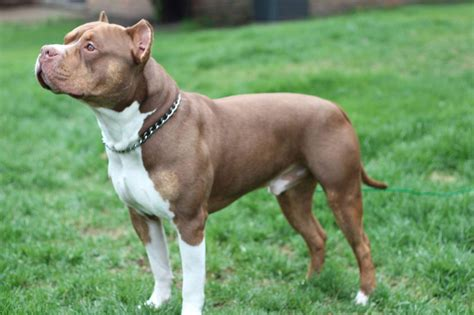american bully this handsome boy is michigan s ukc american bully breed chion the