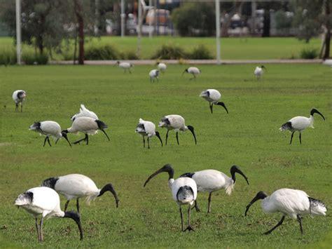 australian backyard birds australian birds backyard birds
