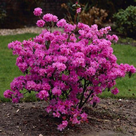 flowering garden shrubs 25 best ideas about evergreen shrubs on