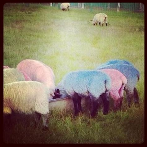 colored sheep rainbow colored sheep
