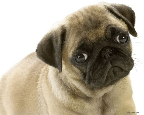 free pug puppies animals zoo park 8 puppies wallpapers puppy