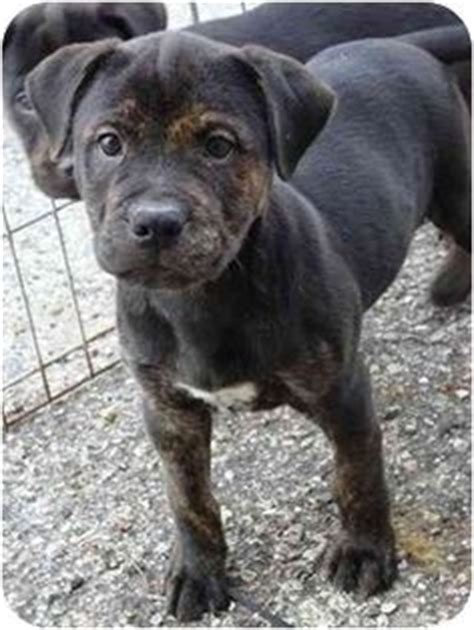 pitbull with rottweiler markings rottweiler pitbull mix of a pit markings of a rotty i m an animal lover