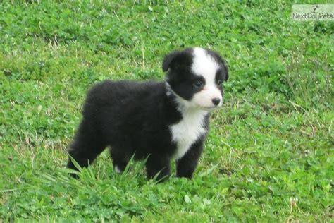 australian shepherd puppies alabama miniature australian shepherd for sale for 250 near birmingham alabama d85c78c0 aa21