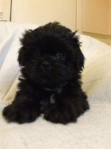 black and white shih tzu puppies for sale black pomeranian shih tzu puppies cat pictures pets world