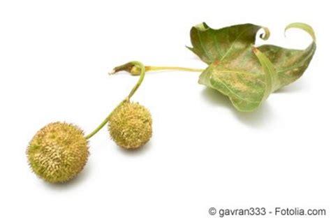 Pilz Im Garten Staubt by Ahornbl 228 Ttrige Platane Platanus Acerifolia Pflanzen