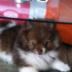 pomeranian puppies for sale in chennai wolf pomeranian puppy pomeranians the o jays puppys