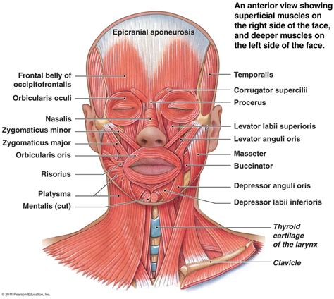 muscles diagram anatomy of and neck muscles human anatomy diagram