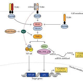 pattern recognition receptors multiple sclerosis mapk activation and regulation via mkp 1 bacterial lps