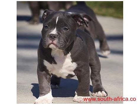 purebred nose pitbull puppies for sale blue nose pit bull teriers bred for sale free south classifieds