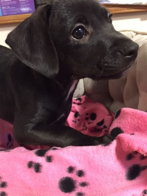 adopt a ma adopt puppies a black dachshund mixed in bernardston ma 16878751 black
