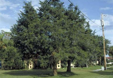 southern redcedar tree selection landscape plants