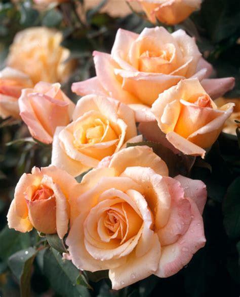 tahitian sunset hybrid tea rose