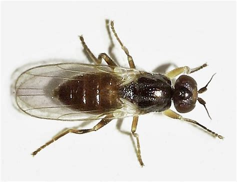gnats in backyard diptera info discussion forum chloropidae elachiptera