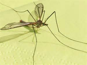 different types of mosquitoes bing images