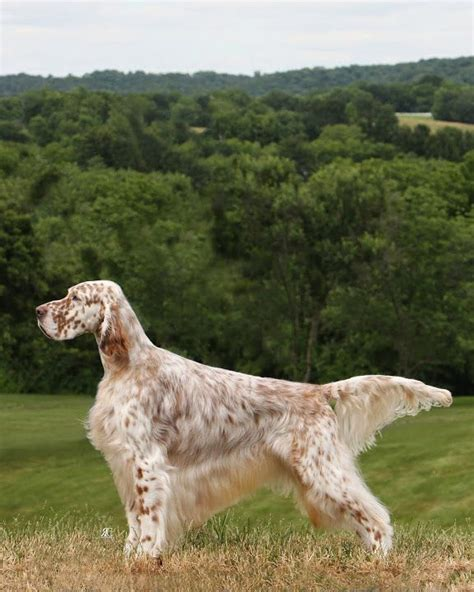 english setter male dog names english setter dogs pinterest english setters