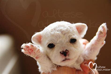 brown maltese puppies brown maltese puppies www imgkid the image kid has it