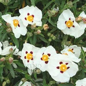Shrub Flowers - cistus x purpureus alan fradd information pictures amp cultivation tips