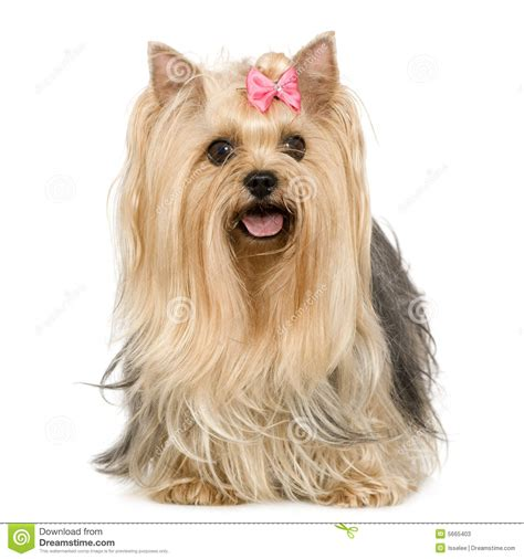 yorkies time terrier 6 years stock image image of collar terrier 5665403