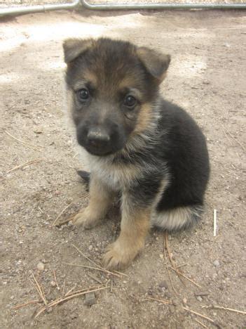 colorado puppies german shepherd puppy for sale in colorado
