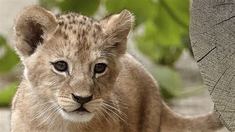 rare barbary lion cubs   show  zoo  germany