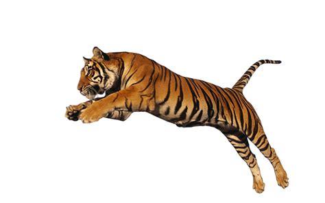 Best Resume Format Pdf Free Download by Tiger Png Transparent Images