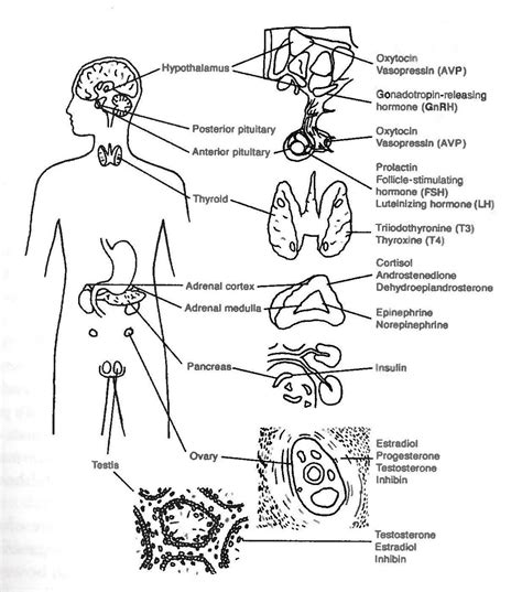 diagram of the endocrine system endocrine system unlabeled diagram modernheal