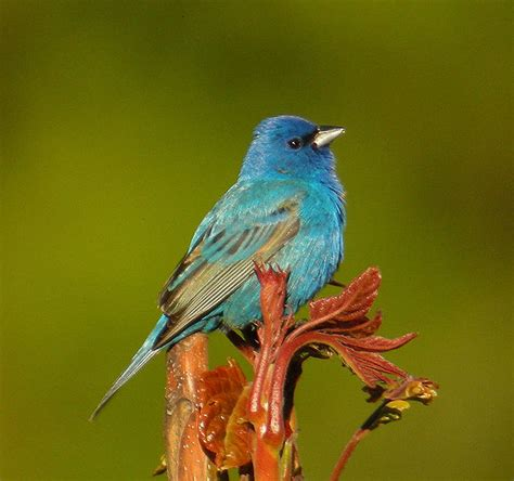 i love quoddy wild indigo buntings and other birds at