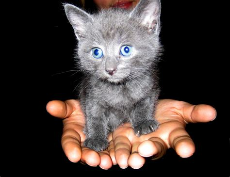 gray with blue grey kitten with blue www pixshark images galleries with a bite